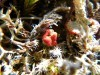 Cladonia sp. - By: rdaanen