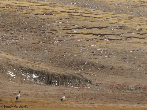 2014-Cranes beneath the Solifluction [Tibet-May-2014].jpg