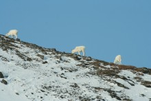 Dall sheep on Aitigun pass